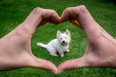 Hands making heart shape around cute west highland terrier westie dog: owner POV point of view. Animal welfare and care royalty free stock images