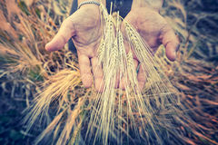 Hands from male farmer with barlay Stock Image