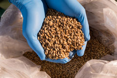 Hands of male worker examining barley at warehouse Stock Photos