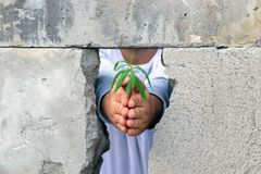 Men hands holding a green sprout of the tree of releasing it into the air through the crack in the concrete wall. Symbol of royalty free stock images