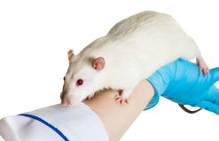 Hands in medical gloves hold a rat Royalty Free Stock Photos