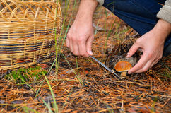 Hands of men cutting edible mushroom knife. There are a basket on the ground in the forest Royalty Free Stock Images