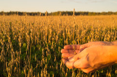 Hands of men holding ears of oats Royalty Free Stock Images