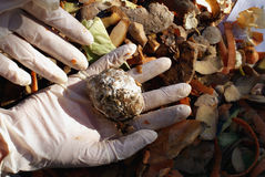 Hands with mould. The photography of hands keeping rot potato (from the compost Royalty Free Stock Photo