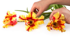 Hands moving three tulips royalty free stock photo