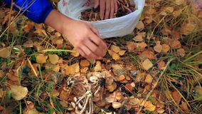 Hands mushroomer in the woods collects much wild stock video footage