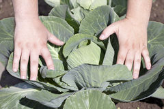 Hands near  cabbage leaves Royalty Free Stock Photos