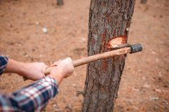 Hands Of A Man With An Ax Chopping A Tree In An Autumn Forest On A Blurred Background Stock Photo