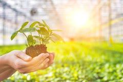 Free Hands Of Female Botanist Holding Seedling In Plant Nursery Royalty Free Stock Image - 164464346