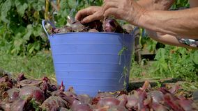 Hands Of An Old Farmer Collect Ripe Red Onions From The Plantation In Bucket stock video