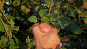 Hands of the old farmer collected the tree ripe apple close up slow motion stock video footage
