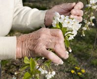 Hands of old woman and cherry tree flowers Royalty Free Stock Photography
