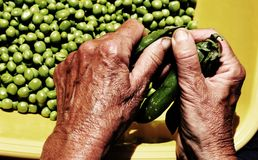 Hands of an old woman take off the green peas from pods Royalty Free Stock Photo