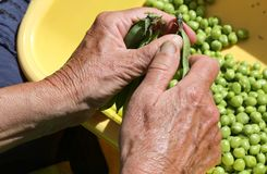 Hands of an old woman take off the green peas from pods Stock Photography