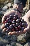 Hands with olives Stock Images