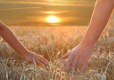 Hands On Barley Royalty Free Stock Photography