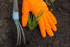 Hands in orange gloves, loosen the soil, young plant, work in the garden.  Stock Image