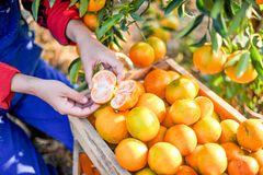 Hands and oranges of the orange farmers are harvesting. Oranges royalty free stock images
