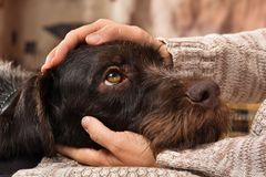 Hands of owner petting a dog. Hands of owner petting head of dog royalty free stock image