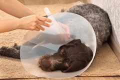 Hands putting on the dog plastic elizabethan collar Royalty Free Stock Photos