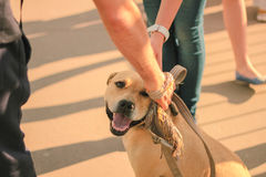 Hands patting smiling brown dog head Royalty Free Stock Photo