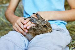 Hands of a peasant boy holding and stroking a baby wild hare royalty free stock images