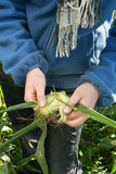 Hands Peeling Raw Corn. In the field Stock Photography