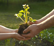 Hands of people with plant. Hands of father and child with plant in soil, grass in background Royalty Free Stock Photos