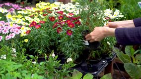 Hands pick flower pot at garden plant store stock footage