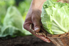 Hands picking a cabbage with basket in vegetable garden, Stock Image