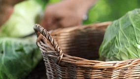 Hands picking a cabbage in vegetable garden, collect and put in wicker basket, close up stock footage