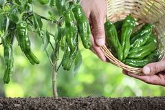 Hands picking green peppers with basket in vegetable garden, clo Stock Images