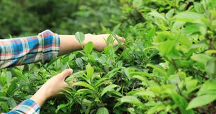 Hands picking green tea trees in spring. Hands picking green tea trees in the spring stock video footage
