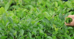 Hands picking green tea trees in spring. Hands picking green tea trees in the spring stock footage