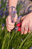 Hands picking lavender. Hands cutting a bunch of lavender flowers Stock Photo