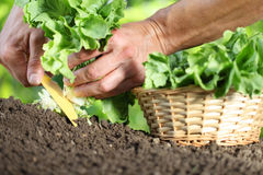 Hands picking lettuce with basket, plant in vegetable garden, cl Royalty Free Stock Images