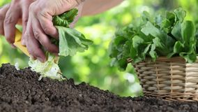 Hands picking lettuce with basket, plant in vegetable garden, close up stock video footage