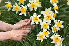 Hands picking narcissus flowers in the garden Royalty Free Stock Photography