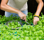 Hands picking roquette vegetables Stock Photo