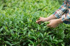Hands picking tea leaves. In spring Royalty Free Stock Photos