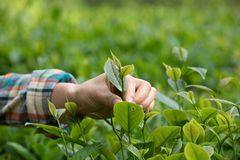 Hands picking tea leaves. In spring Stock Photos