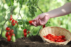 Hands picking tomatoes from plant to vegetable garden, with wick Stock Photography