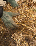 Hands picking up hay. Close-up of a persons hands picking up hay Stock Photo