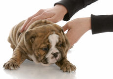 Hands picking up a puppy Royalty Free Stock Photo