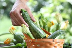 Hands picking zucchini with basket in vegetable garden Stock Photo