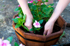 Hands place pink flower in octagonal planter. In the shade Stock Photos