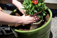 Hands place a plant in a round green pot. On a sunny day Stock Photos