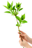 Hands and plant Stock Photography