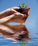 Hands with plant. Hands with a plant reflected in water Royalty Free Stock Images