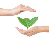 Hands and plant Royalty Free Stock Image